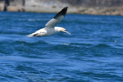 Gannet turning on the wing off Ramsey Island